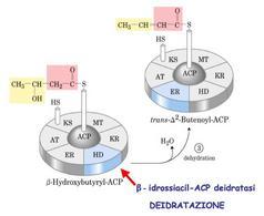 Reazione catalizzata da β-idrossiacil-ACP deidratasi (HD)