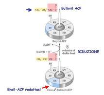 Reazione catalizzata dall'enoil-ACP reduttasi (ER)