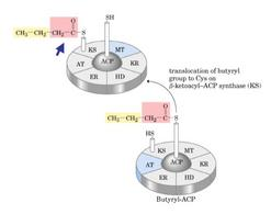 Traslocazione del gruppo butirrilico al residuo di Cys della β-chetoacil-ACP sintasi (KS)