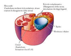 Siti cellulari in cui avvengono le diverse fasi del metabolismo degli acidi grassi