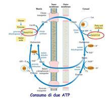Sistema di trasporto dei gruppi acetilici dai mitocondri al citosol