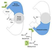 La reazione dell'acetil-CoA carbossilasi