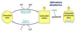 Regolazione dell'acetil-CoA carbossilasi
