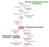 Vie di sintesi di altri acidi grassi