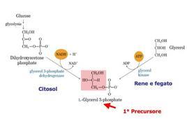 Sintesi del glicerolo-3-fosfato