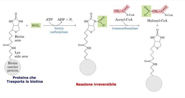 La formazione del malonil CoA dall'acetil-CoA e bicarbonato