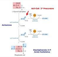 Sintesi dell'acido fosfatidico