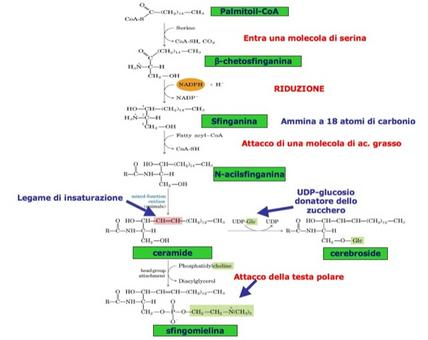 Biosintesi degli sfingolipidi