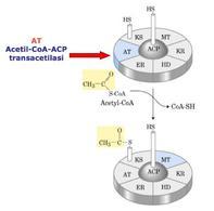 Reazione catalizzata da acetil-CoA-ACP transacetilasi