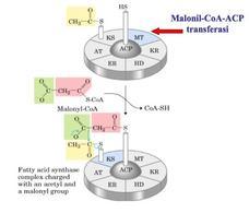 Reazione catalizzata da Malonil-CoA-ACP transferasi