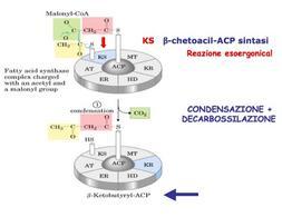 Reazione catalizzata da β-chetoacil-ACP sintasi (KS)