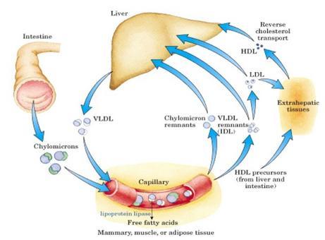 Lipoproteine e trasporto lipidico