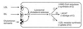 Regolazione della biosintesi di colesterolo
