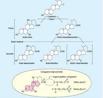 Gli acidi biliari