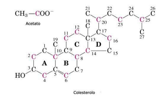 L'origine degli atomi di carbonio del colesterolo