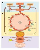 Schema riassuntivo del metabolismo ossidativo