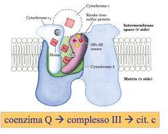 Complesso III: CoQ citocromo c ossidoreduttasi