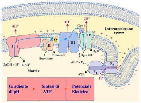 Trasporto di elettroni -> gradiente protonico -> sintesi di ATP