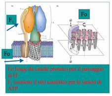 Struttura dell'ATP sintasi