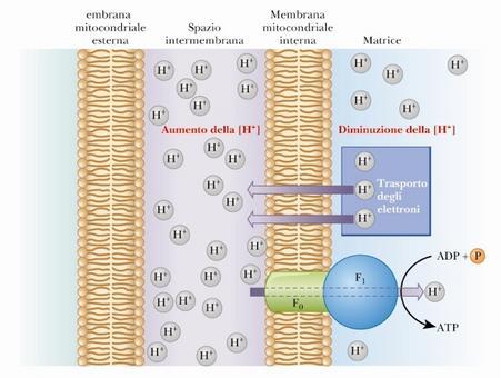 La formazione di ATP avviene con il riflusso dei protoni nella matrice mitocondriale