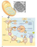 Matrice mitocondriale; membrana mitocondriale interna; spazio intermembrana