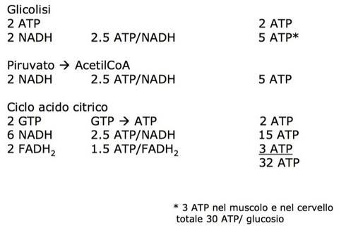 ATP prodotto per molecola di glucosio. Dipende dal sistema navetta utilizzato per trasportare NADH dal citosol al mitocondrio