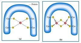 I centri [FeS] Nelle proteine Fe-S di Rieske l'atomo di ferro è coordinato con residui di His