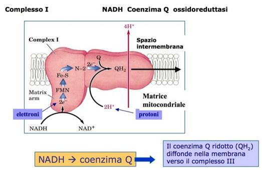 Il Complesso I: NADH Coenzima Q ossidoreduttasi