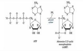 L'adenilato ciclasi catalizza la sintesi di cAMP da ATP