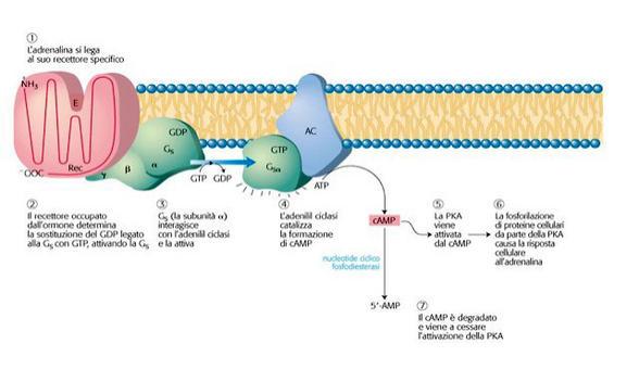 L'adrenalina si lega al suo recettore (beta adrenergico) ed innesca la trasduzione del segnale mediata da cAMP