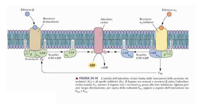Attività dell'adenilato ciclasi