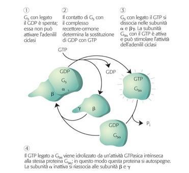 Le diverse fasi che comportano l'attivazione-inattivazione del GTP-GDP