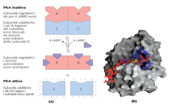 (a) attivazione-inattivazione della PKA mediata da cAMP; (b) Immagine tridimensionale della PKA