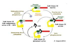 Il legame di CaM chinasi II alla calmodulina