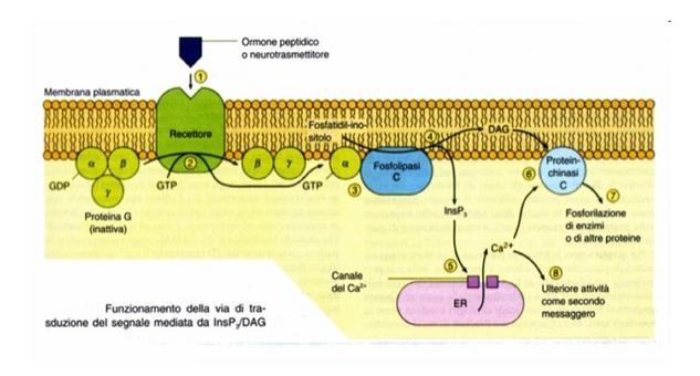 Via di trasduzione del segnale mediata da fosfolipasi C, IP3, PKC