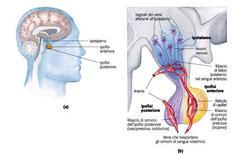 L'ipotalamo è il centro di coordinazione del sistema endocrino
