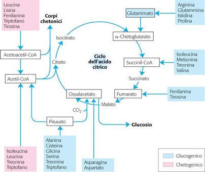 Differente destino dello scheletro carbonioso degli amminoacidi