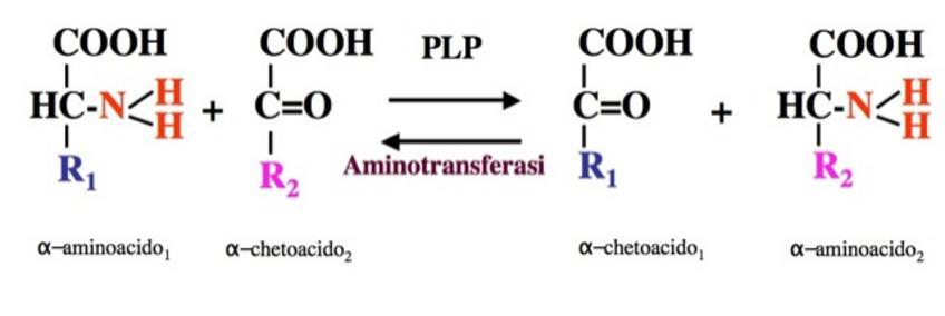 Le Reazioni di transaminazione consistono nel trasferimento del gruppo aminico ad un a-chetoacido accettore
