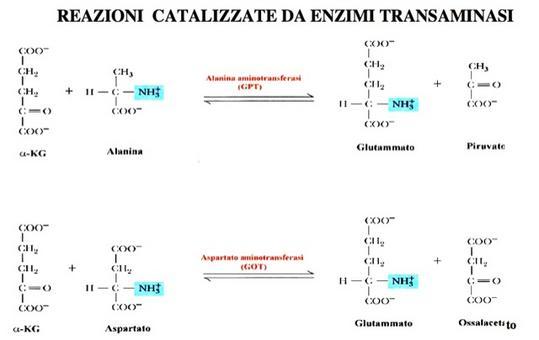 Le reazioni catalizzate dagli enzimi Alanina aminotransferasi i (GPT) e Aspartato aminotransferasi (GOT)