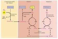 Uno schema riepilogativo dell'escrezione dell'ammoniaca