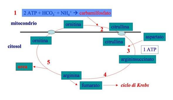 Le reazioni del ciclo dell'urea