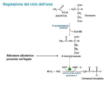 Il flusso di atomi di azoto attraverso il ciclo dell'urea varia con la composizione della dieta