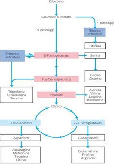 Le principali vie di biosintesi degli amminoacidi