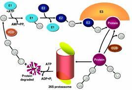 Proteolisi mediata da ubiquitina. Il proteosoma 26S
