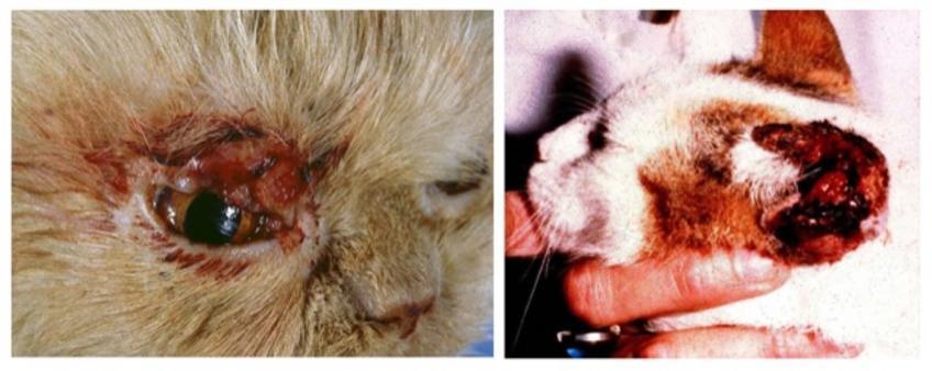 Lesioni simil-placca, crateriformi – spesso crostose, ulcerate e dure. Immagine da PS Marcato, Patologia Sistematica Veterinaria – Edagricole 2002.
