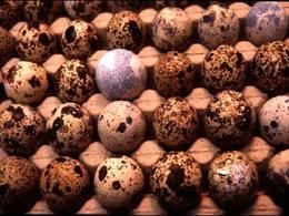 Uova di quaglia. Da notare l'eterogeneità del colore del guscio
