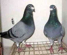 Una coppia di colombi viaggiatori