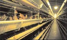 Un'immagine di un tipico allevamento in batteria delle galline ovaiole