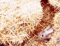 Un coniglio che sbuca da un cunicolo scavato tra la paglia