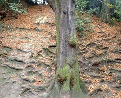 Le radici dell'ippocastano